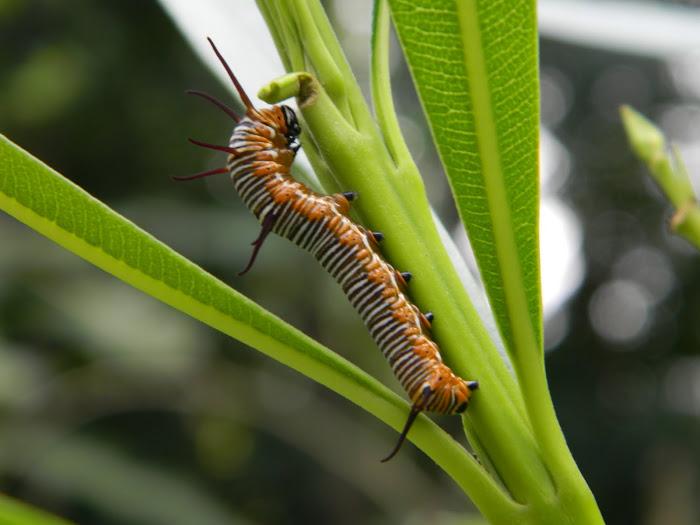 butterfly larva   jithin p joys imagepixoto com