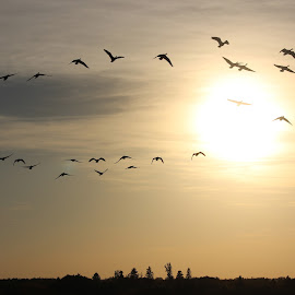 See you next year by Raea Gooding - City,  Street & Park  Skylines ( flight, migration, sunset, geese, flock )