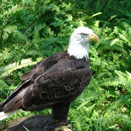 Majestic Eagle by Christina McGeorge - Novices Only Wildlife ( bird of prey, eagle,  )