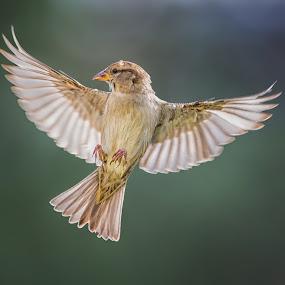 Female House Sparrow in Flight by Martin Belan - Animals Birds ( nature, backyard, birds, birds in flight, sparrow, , bird, fly, flight )