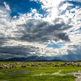 Transhumation by Eduard Gutescu - Landscapes Mountains & Hills ( transhumation, romania, sheep, moeciu, bran )