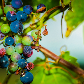 Wild Grape by Roberta Janik - Food & Drink Fruits & Vegetables ( wild fruit, wild grape wine, grape, wild grape, grape vine,  )