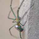 Orchcard spider