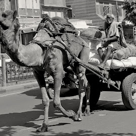 Camel wagon & driver by Doug Hilson - City,  Street & Park  Street Scenes ( camel, jaipur, driver, india, street scene )