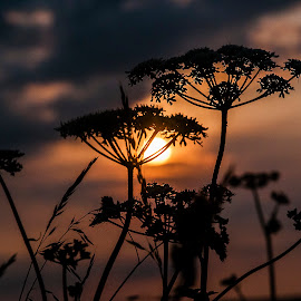 Summertime.... by Lee Morley - Nature Up Close Trees & Bushes ( plant, field, lincolnshire, countryside, sumer, warm, nature, sunset, relaxing )