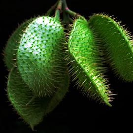 Caesalpinia bonduc by Asif Bora - Nature Up Close Other plants
