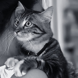 by Stefan Ho - Animals - Cats Portraits