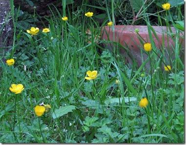 20080522 Metre Ranunculus repens 004