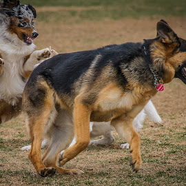 Aussie Attack Dog by Ron Meyers - Animals - Dogs Playing