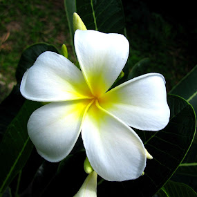 A Frangipani's blossom of happiness.   by Jo-Ann Tan - Flowers Single Flower
