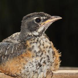 Red the Robin by Kansas Allen - Animals Birds
