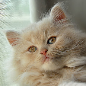 Gorgeous by Manal Ali - Animals - Cats Kittens ( cats, kitten, fluffy, white, , baby, young, animal )