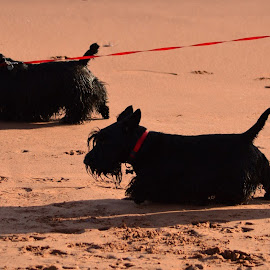 Scottish Terriers by Bryan Wenham-Baker - Animals - Dogs Running ( terriers, scottie dogs, black scotties, scottie, black dogs, black terriers, scottish terriers )