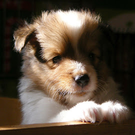 by Gary Richardson - Animals - Dogs Puppies (  )
