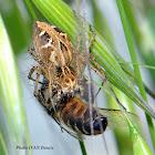 Lynx Spider ID