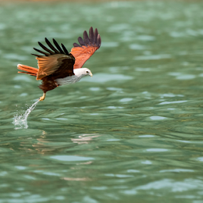 Langkawi Eagle Feeding by Israr Shah - Animals Birds