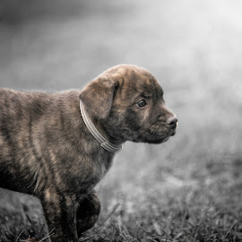by Rob Giannese - Animals - Dogs Puppies