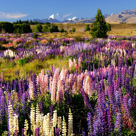 MacKenzie Country by Dragan Keca - Landscapes Prairies, Meadows & Fields ( mountains, colors, summer, flowers, fields )