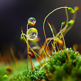 The sounds of silence by Diens Silver - Nature Up Close Flowers ( macro, nature, waterdrop, dew, plants )