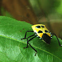 Yellow Stink Bug