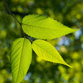 Green Leaves by Leka Huie - Nature Up Close Leaves & Grasses (  )