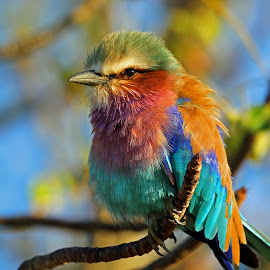 Lilac Breasted Roller in golden light by Anthony Goldman - Animals Birds ( bird, roller, wild, lilac breasted, londolozi, , Africa, Safari )
