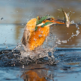 Kingfisher with Fish by Gary Hickson - Animals Birds ( bird, england, nature, kingfisher, dorset )
