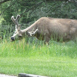 Big Buck Having Lunch by Connie Hoyt Tompkins - Animals Other Mammals
