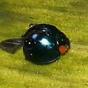 Metallic Blue Lady Beetle