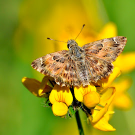 Mallow Skipper  by Ricardo Costa - Animals Insects & Spiders ( butterfly, lepidoptera, parque da cidade do porto, insect, portugal,  )