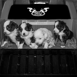 Hitchin A Ride by John Alan Crisp - Animals - Dogs Puppies ( animals, puppies, dogs, portraits, miniature )