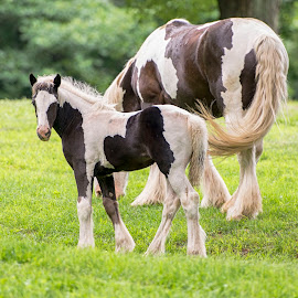 Looking Back by Stacy White - Animals Horses ( mare, colt, horse, gypsy vanner, foal )