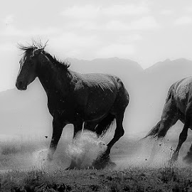Wild Horses by David Morris - Animals Horses