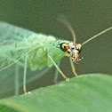 Golden-eyed green lacewing