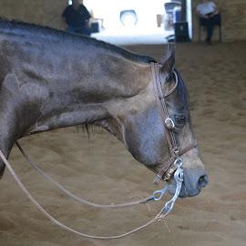 Commandalena Headshot by Brian Shoemaker - Novices Only Pets ( champion, stallion, headshot, reining, commandalena )