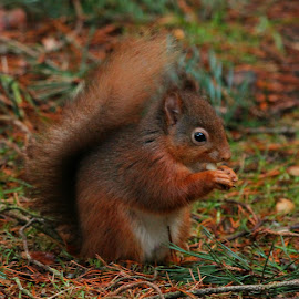 Red Squirrel by Steve Cornforth - Animals Other Mammals ( england, cumbria, red squirrel, forest, squirrel )