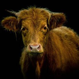 Scottish Highland by Nicole Windgefluester - Animals Other Mammals ( scottish highland, cow, cattle, animal, livestock,  )