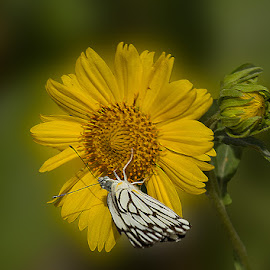 Butterfly by Mukesh Chand Garg - Animals Insects & Spiders