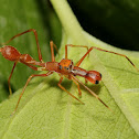 Kerengga Ant-like Jumper