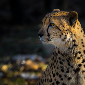 Cheetah 8 by Nigel Bullers - Animals Lions, Tigers & Big Cats ( spots, wild, cheeteah, cat, animal )