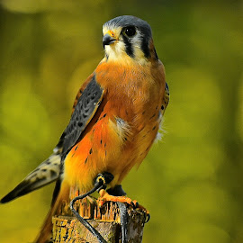 Puck by Roy Walter - Animals Birds ( captivity, animals, american kestrel, birds )