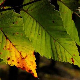 Light through leaves by Kate Holmes - Backgrounds Nature