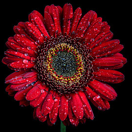 The proud bloom #3 by Rakesh Syal - Flowers Single Flower