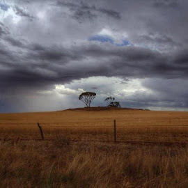 The Wheatbelt by Dan Searle - Landscapes Prairies, Meadows & Fields ( wheat, trees, storm, rain )
