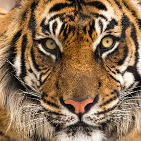 Tiger Stare by Chuck Mason - Animals Lions, Tigers & Big Cats ( tiger, animal,  )