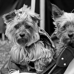 Mr. & Mrs Cute by Robert Daveant - Animals - Dogs Portraits ( , #GARYFONGPETS, #SHOWUSYOURPETS )
