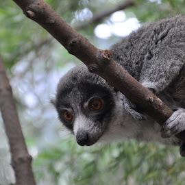 Lemur by Eric Schwenck - Animals Other Mammals ( tree, zoo, calgary, lemur, cute )