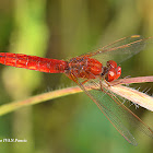 Red-veined Darter or nomad