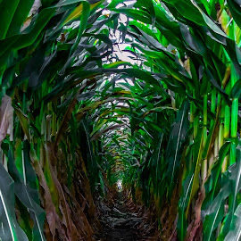 Corn maze by Stephen Schwartzengraber - Public Holidays Halloween ( nature, arizona, maze, corn, halloween )