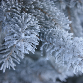 Everwhite Evergreen by Brook Steed - Nature Up Close Trees & Bushes ( icy, winter, ice crystals, tree, ice, frozen, evergreen,  )
